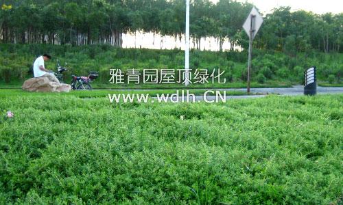 垂盆草(卧茎佛甲草)在屋顶绿化,地被,护坡,花坛,吊篮等城市景观工程中