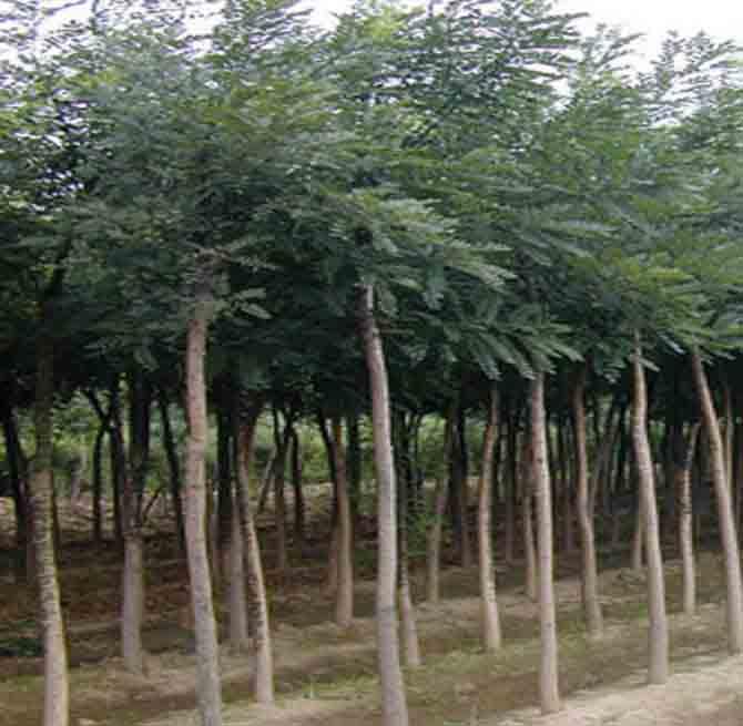 桃胡,杏胡,梨树籽,山楂籽,樱桃籽,花椒籽,软枣籽,牡丹籽等,各种绿化