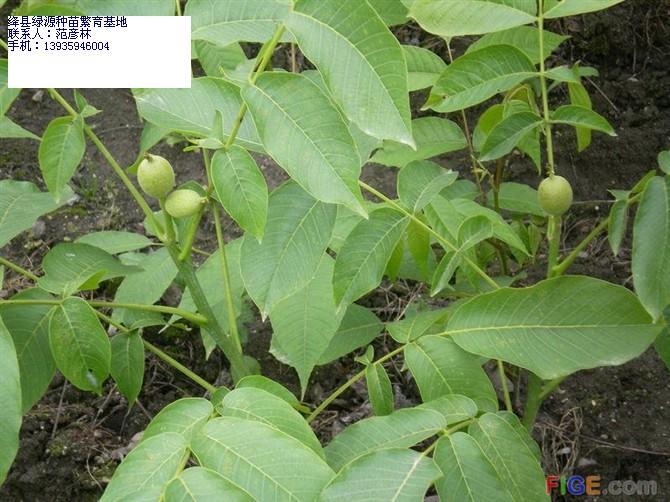 背景 壁纸 绿色 绿叶 树叶 植物 桌面 670_502