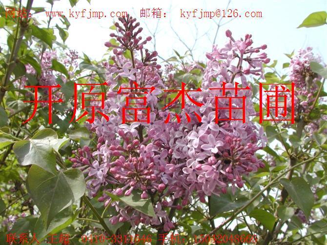 金焰绣线菊0.15元/棵-金山绣线菊0