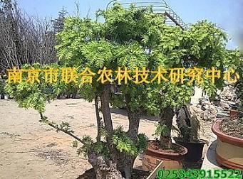 江苏省南京市红豆杉盆景,树桩盆景