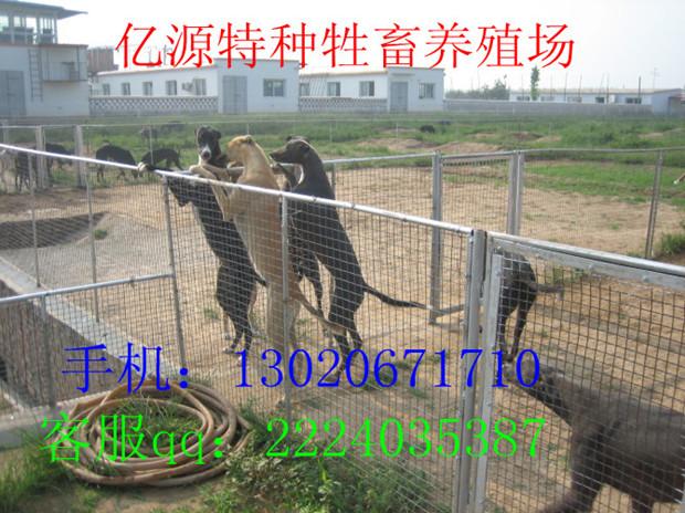 安徽铜陵有抓兔子猎犬卖的吗铜陵那有格力犬猎