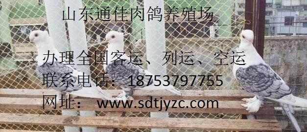 平山县/唐山市哪里卖观赏鸽/观赏鸽品种