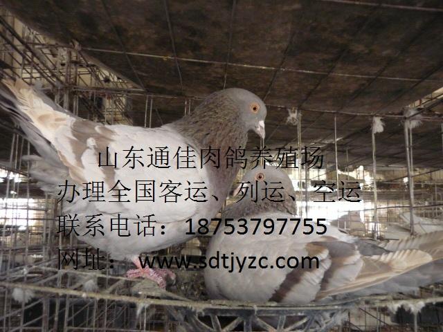 张秋真/平山县哪里卖观赏鸽/观赏鸽品种