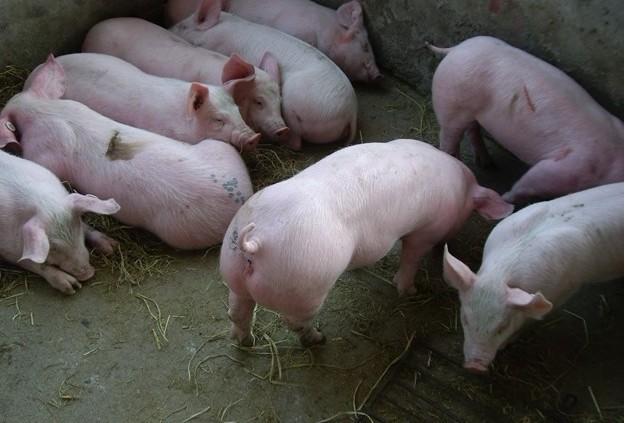 猪伪狂犬,仔猪水肿病