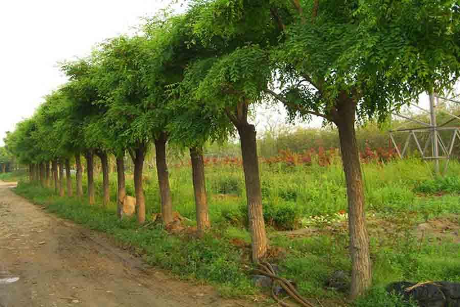 安徽国槐树8公分国槐树价格