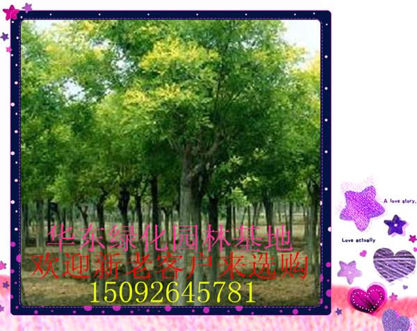 16:02:36) 半冠国槐6公分树苗价格 (2013-11-09 16:01:20) 合欢树12