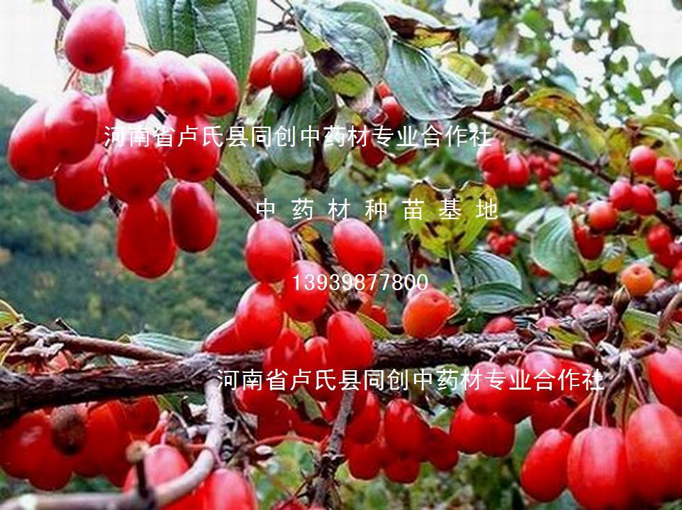 供应优质药枣树苗(枣皮,山茱萸)100万株