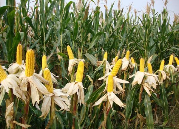 早38玉米,可发黑龙江,辽宁,吉林,内蒙古等地玉米种子