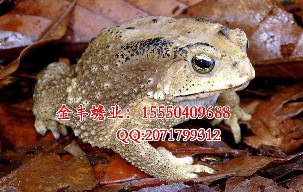 冬天冬眠的青蛙动物图片