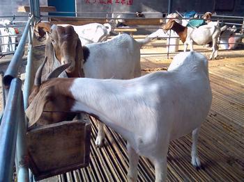 波尔山羊羊崽的价格