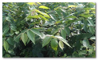 朴树病虫害防治
