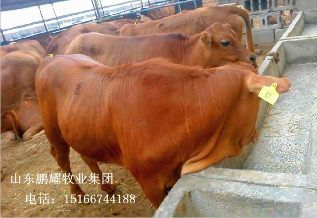 養100頭牛需要多少資金 江蘇張家港種草養殖黃牛苗效益