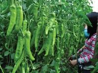 日禾宝钻F1,产量好的保障,辣椒种子