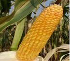 新疆中晚熟玉米种子,ESS抗倒伏、抗病虫害