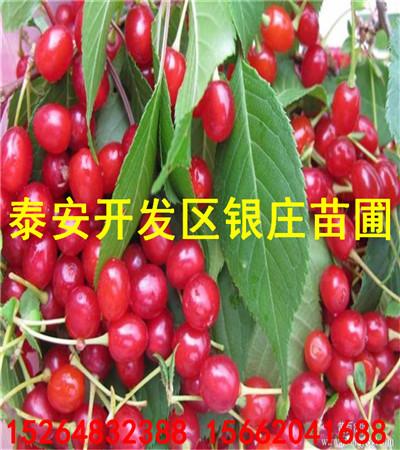 樱桃树苗最新价格