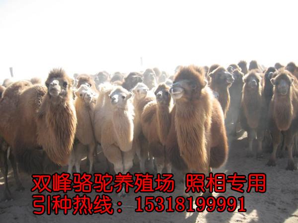 3d动物木板积木骆驼