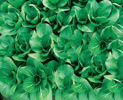 青梗菜,菜种子,买种子欢迎来中国种子网