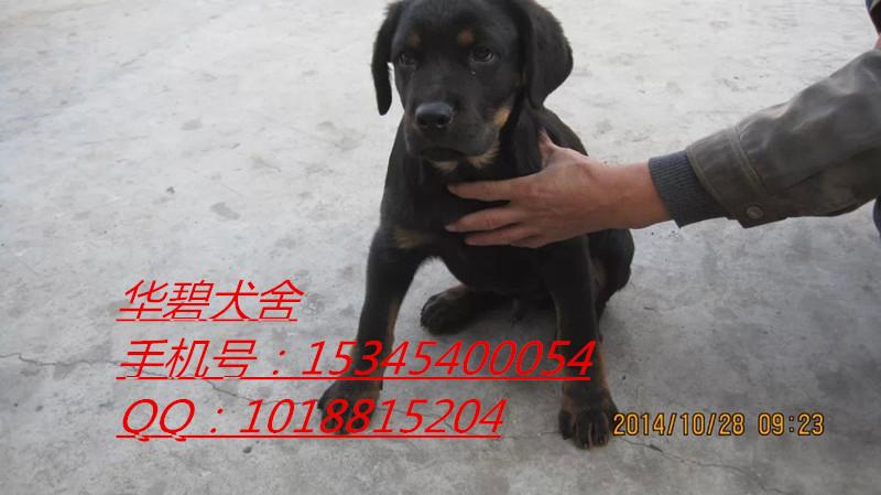 深圳德国牧羊犬黑背犬养殖场