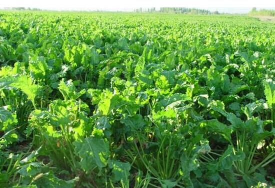 荷兰甜菜,大批量进购甜菜种子,黑龙江专业产业基地
