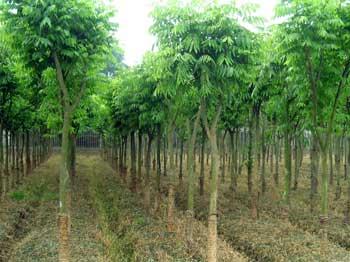出售各种苗木法桐国槐述生杨等多种品种