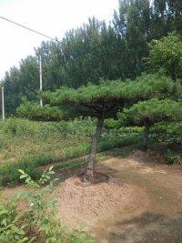 优质山楂树苗果树种苗多品种多规格