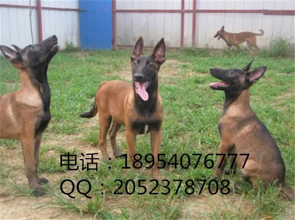 德国牧羊犬养殖场陕西西安市山东特种