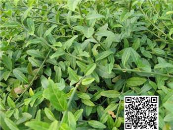 软枣树盆景养护