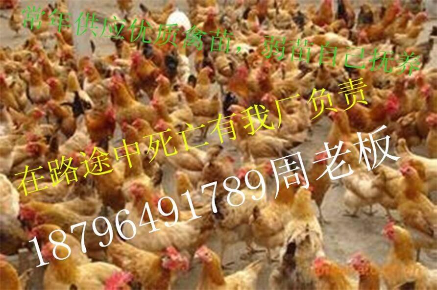 土鸡苗价格 鸡苗价格行情18796491789鸡苗价格预测 817鸡苗价格