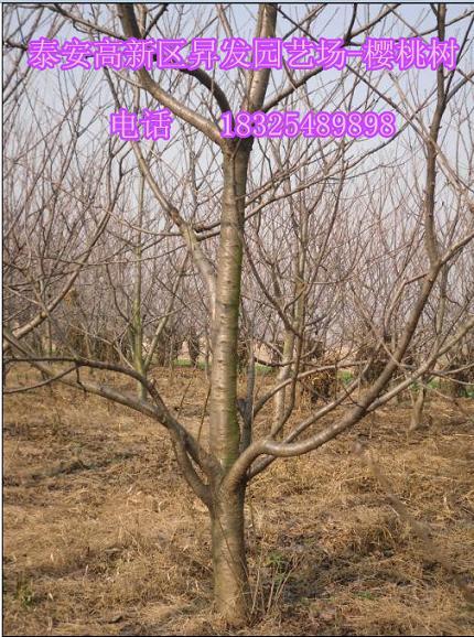 15公分樱桃树价格