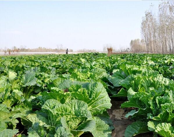 热王子1号,产量高的大白菜种子