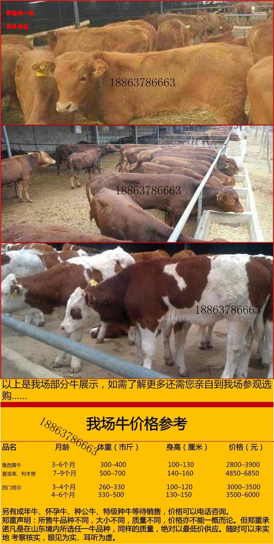 300斤西蒙达尔犊牛哪里卖