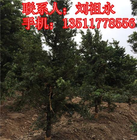 长春红叶石楠树苗价格