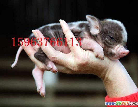 北碚区小香猪肉狗养殖饲养成本