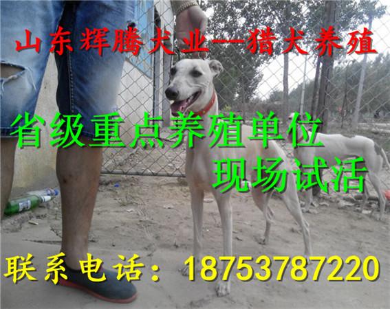 福州地方有卖灵缇犬的?_维修信息_金农网公司注册供应医疗设备图片
