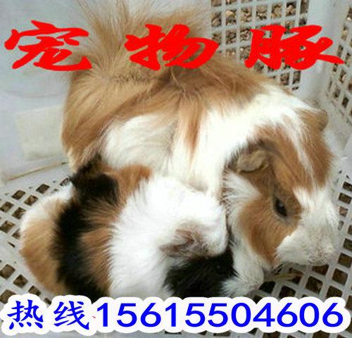 贵州黑豚鼠养殖场普通短毛的荷兰鼠是著名的实验动物