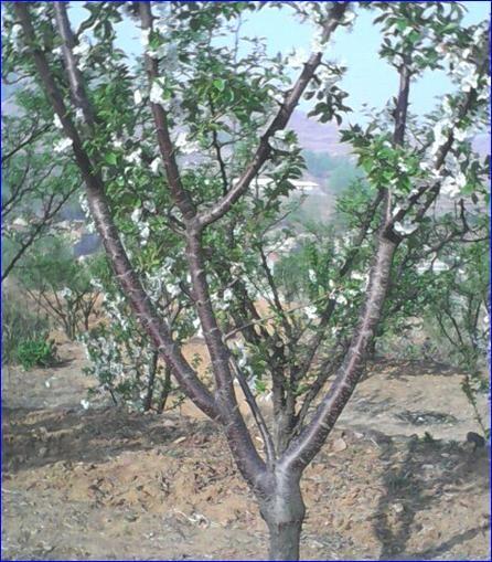 枣庄供应15公分樱桃树